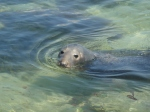 Tame seal approaches visitors in St Ives