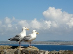 Double trouble: seagulls posing on the Cornish coast