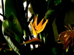 Back in Spain - a glowing bird of paradise