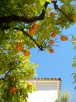 Seville's oranges, blue sky and white washed buildings