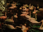 Swans tinged red by the glowing red lights of Amsterdam