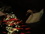 Swan pondering the red lights