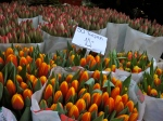 Emblematic of Holland - the tulip