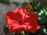 Sun-dappled hibiscus