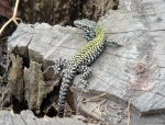 A very beautiful lizard near San Miniato
