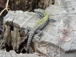 A very beautiful lizard near San Miniato