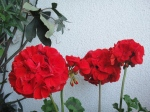 White wash and red geranium - the colours of a Spanish patio garden