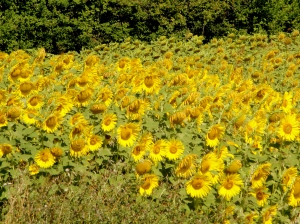 A carpet of yellow