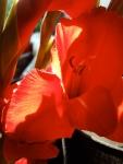 Wafer thin gladioli