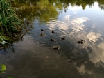 Ducklings in Wandsworth Common