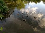 Ducklings in Wandsworth Common