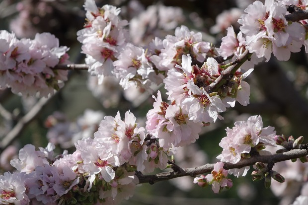 The almond blossom season